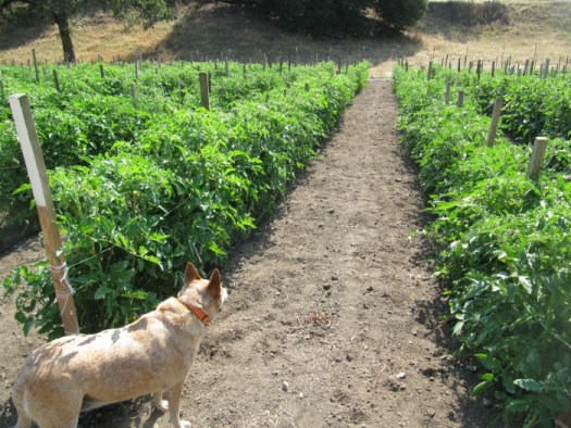 Rows and rows of tomatoes at Wild Boar Farms