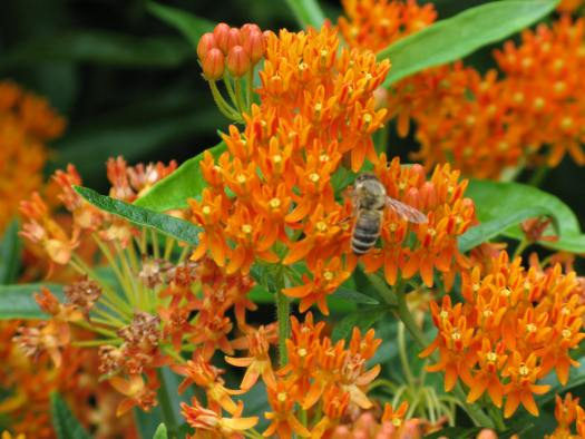 Honey bees pollinating butterfly weed