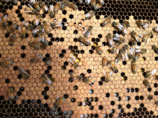 Great frame with lots of brood (capped larvae)