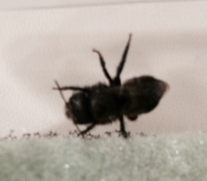 Mason bee hatched out of cocoon