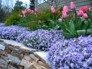 Tulips blooming through creeping phlox