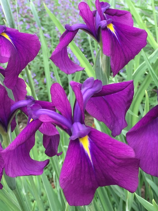 'Black Gamecock' Louisiana Iris