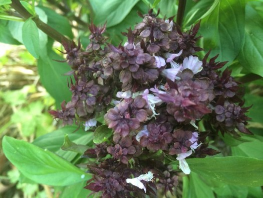 The flower bracts are a dark purplish color and the flowers open up one by one