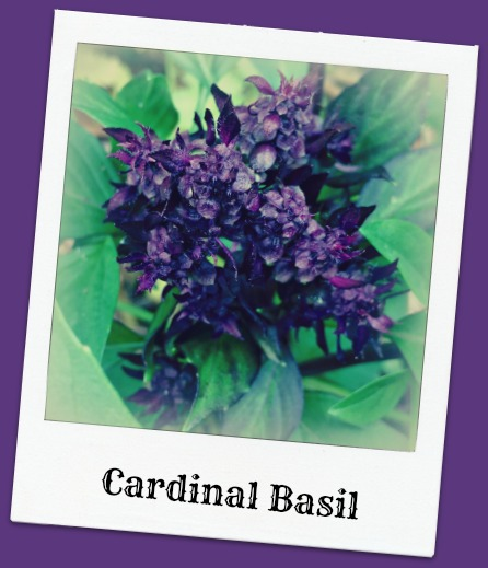 cardinal basil