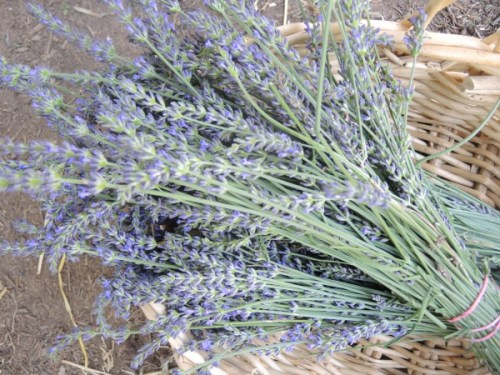 Fresh cut Phenomenal lavender