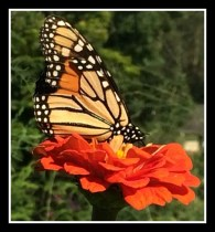 Monarch butterfly on Zinnia
