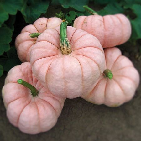 Porcelain Doll pumpkin, picture from DP Seeds.com