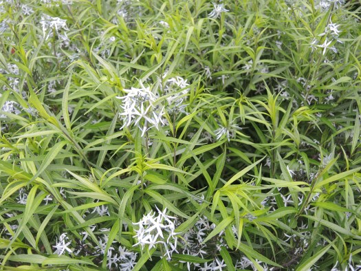 Amsonia has a smallish blue flower that is pretty but not outstanding
