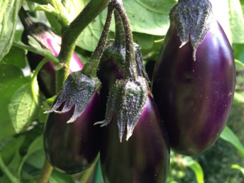 Patio Baby Eggplant is made to grow in containers