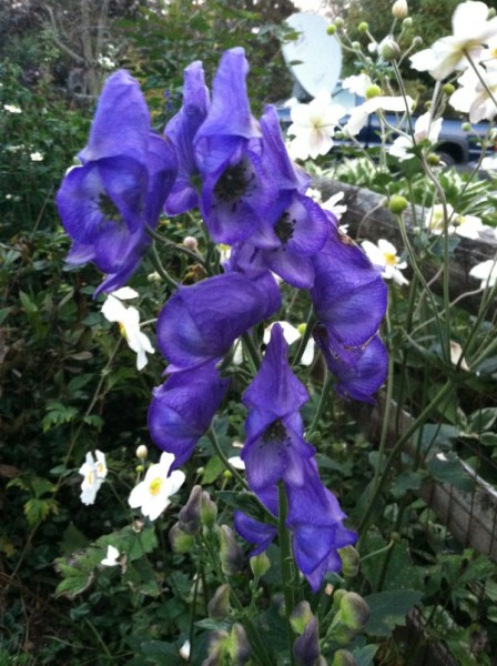 Monkshood blooms in  October