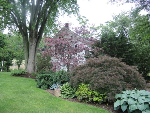 A tricolor beech brightens up the border next to the house