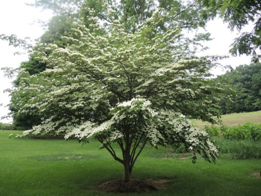 Kousa Dogwood in full bloom set in the lawn
