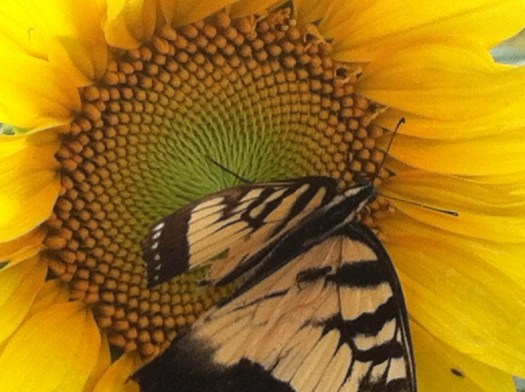 Sunflowers attract many pollinators besides bees