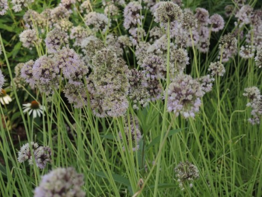 A large grouping of a smaller allium