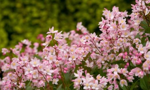 Deutzia Yuki Cherry Blossom, a great pink miniature Deutzia