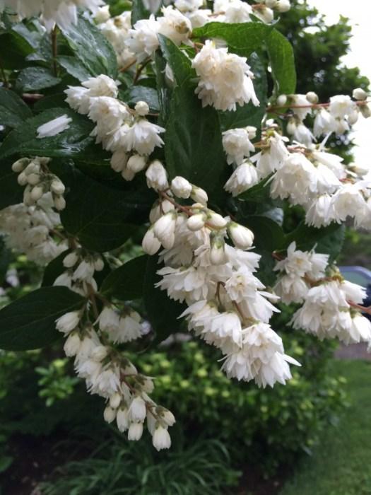 A double flowered Deutzia