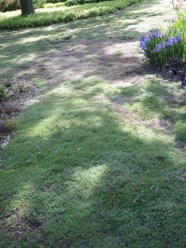 Creeping thyme makes a great lawn substitute