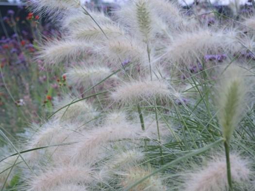 Feathertop Pennisetum