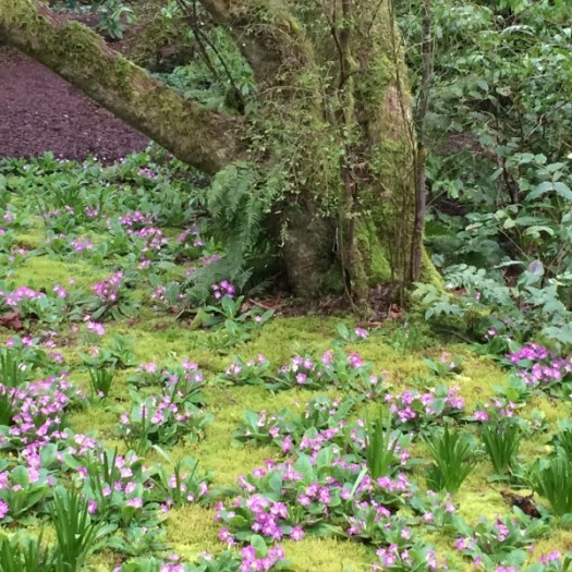 Bulbs and primroses growing up through moss