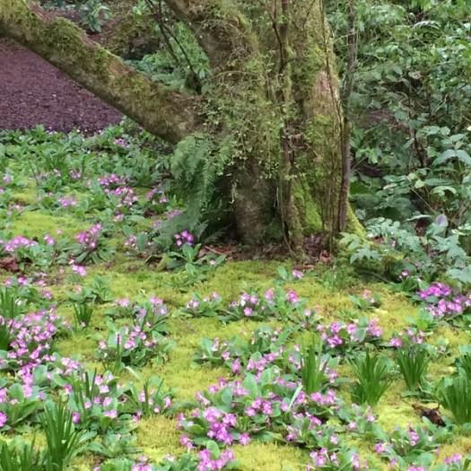 Bulbs and primroses growing up through moss