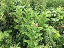 Colony of Milkweed