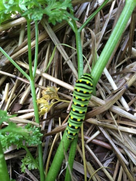 Black Swallowtail caterpillar feeding on parsley plant