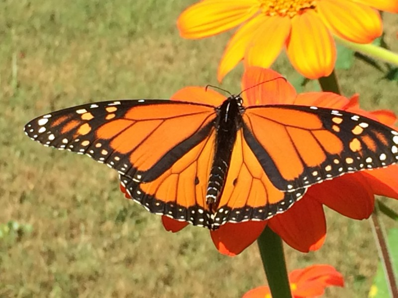 Monarch basking