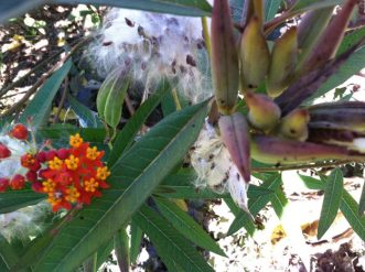 Tropical Milkweed is brightly colored