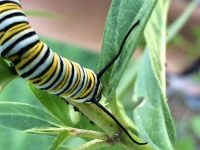 Monarch caterpillar munching on a milkweed