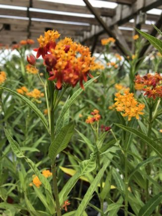 Tropical Milkweed has pretty yellow and orange flowers