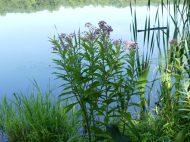 Swamp Milkweed growing by pond