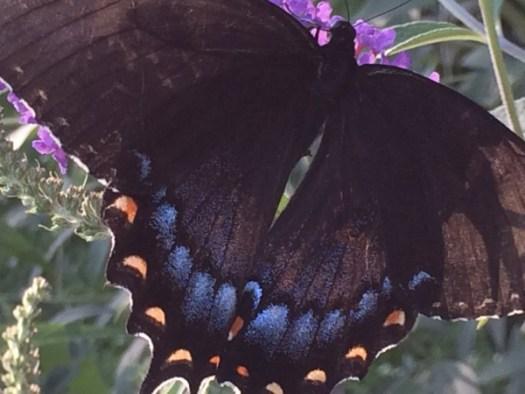 Swallowtail on bloom