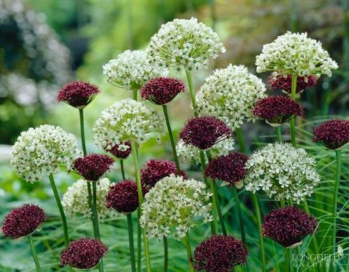Allium Nigrum And Purpureum