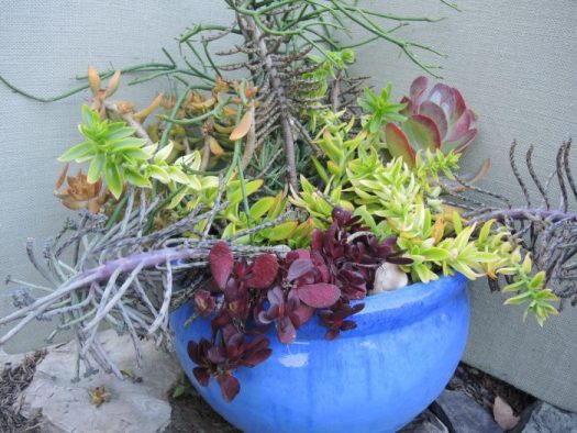 Large succulent container that will turn to mush with the first frost