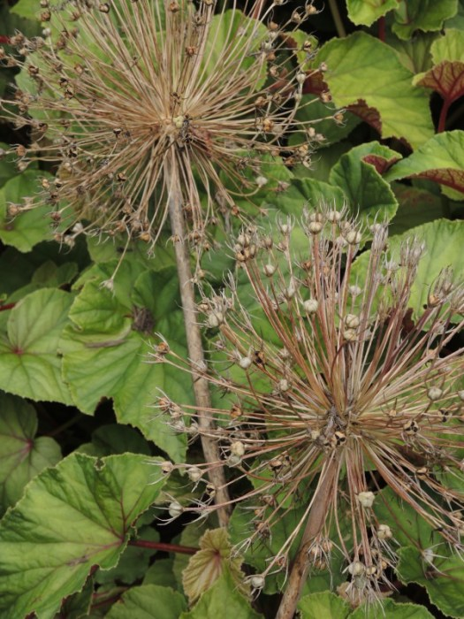 Dried seed heads in the garden