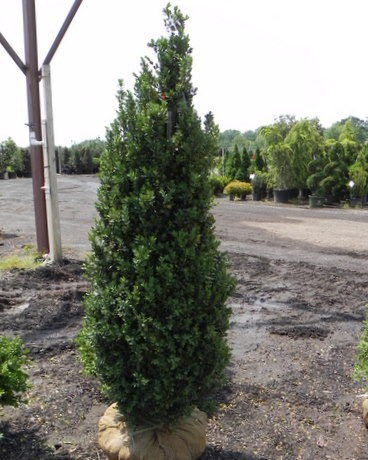 Fastigiate boxwood or upright boxwood produces long straight stems for trees