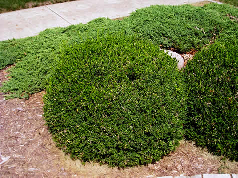 'Green Velvet' Boxwood, a gold award winner from the Pennsylvania Hort Society is my 'go to' boxwood