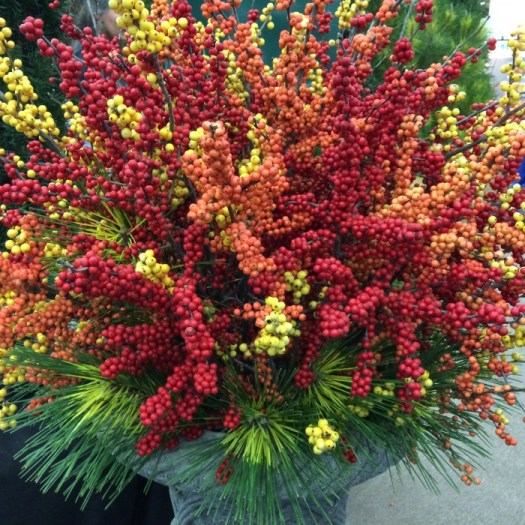 Winter berries or Ilex verticilatta are definitely seeing an upswing in popularity