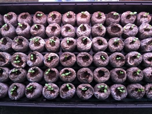 Milkweed seedlings emerged quickly