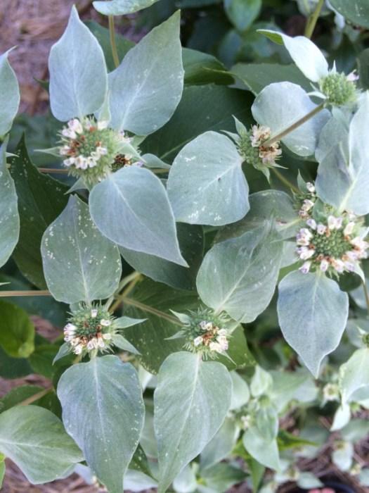 Mountain Mint flower