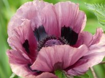 Annual poppy, I don't know the variety