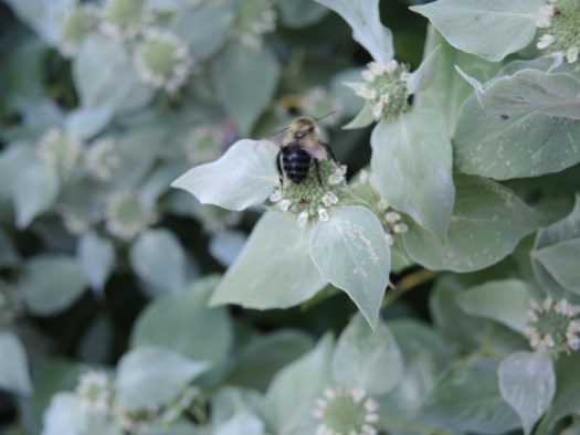 The sheer number of insects that you see on Mountain Mint is amazing; The entire plant buzzes