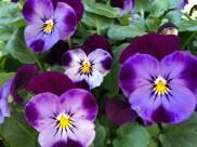 Violas