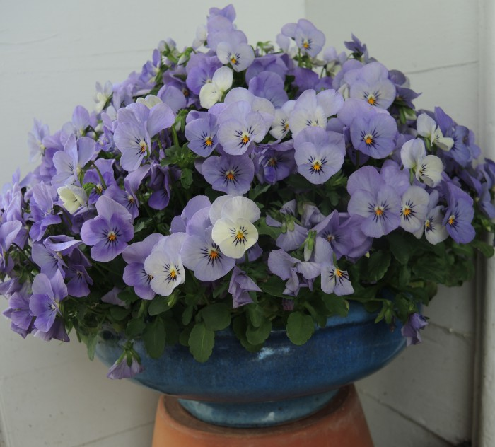 A single variety of violas filling a pot can be beautiful