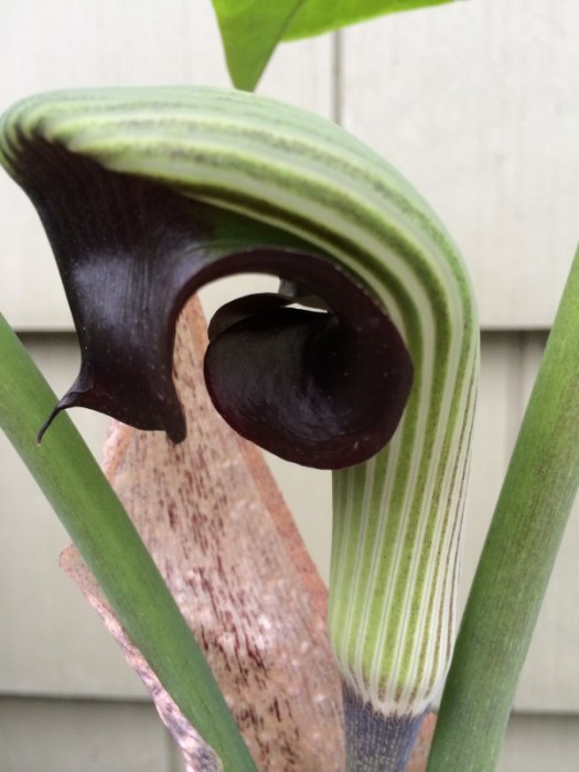 An unfurling Jack in the Pulpit