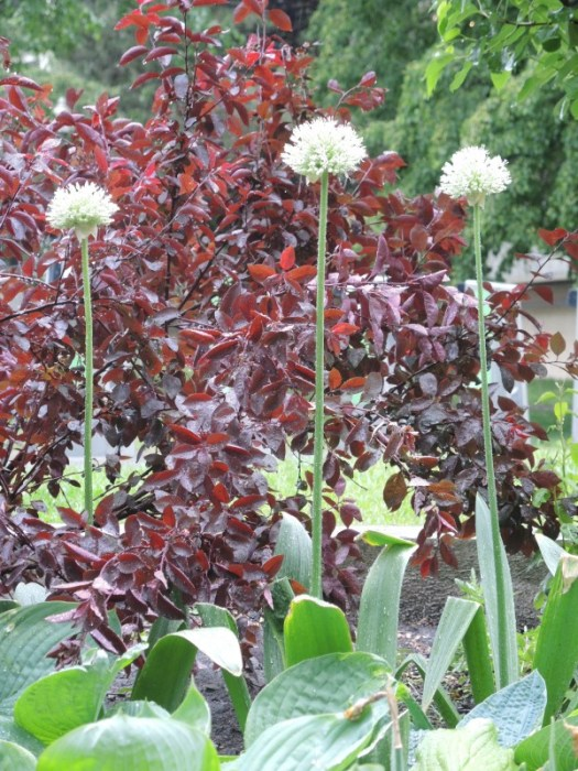 A black foliaged smoke tree sets off the white Alliums
