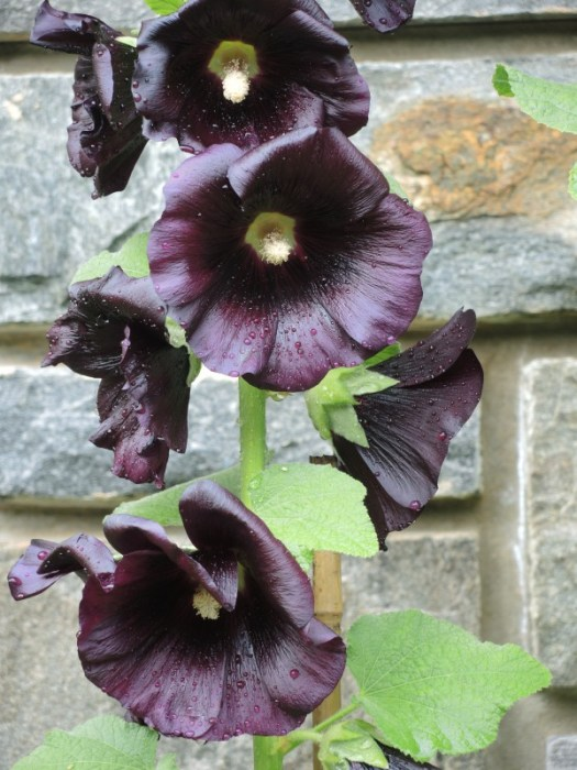 Black Magic Hollyhock