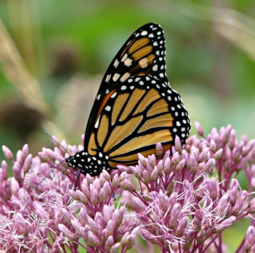 Rearing Monarchs – Start With Milkweed – The Garden Diaries