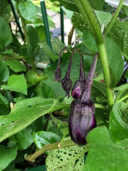 The eggplants hang in clusters