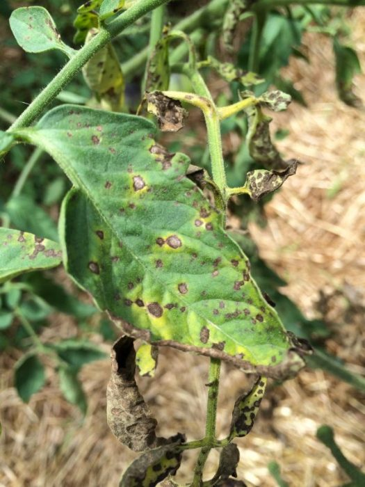 Tomato diseases hit hard when plants are stressed
